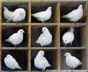 10 Pigeons