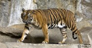 How the tiger got its stripes